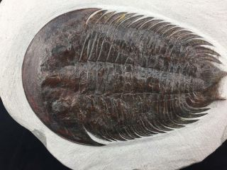 Stunning Dikelocephalina Brenchleyi Trilobite Fossil From Morocco (s5)
