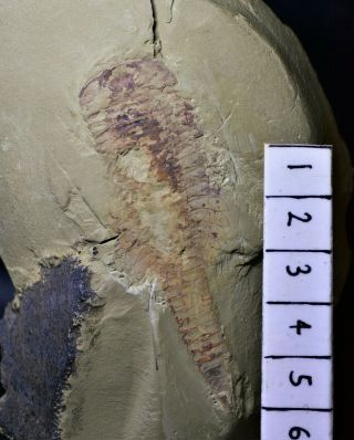 Museum Grade Fuxianhuia With Eyes & Brain Early Cambrian Chengjiang Biota